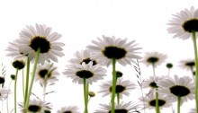 Row of wild daisies isolated on white background